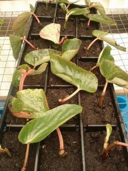 Begonia Cuttings