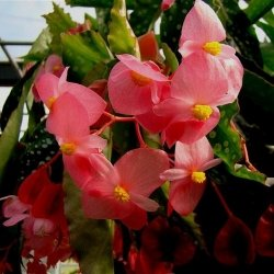 How to Grow Begonias from Cuttings